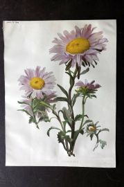 The Garden 1898 Antique Botanical Print. Aster Sinensis